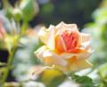 100518 満開のバラを求めて今年もバラ園に (於 谷津バラ園)