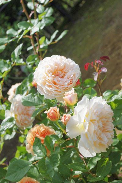 100518 直径20cmはありそうな大輪のバラ (於 谷津バラ園)
