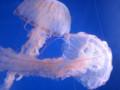[クラゲ]100811 パープルストライプドジェリー。きれい!(於 新江ノ島水族館)