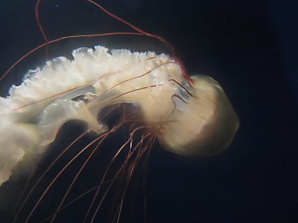 100811 毒の強いヤナギクラゲ(於 新江ノ島水族館)