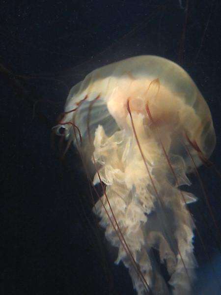 100811 ヤナギクラゲその2(於 新江ノ島水族館)