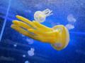 [クラゲ]100811 タコクラゲと一緒に遊泳中のムラサキクラゲ(於 新江ノ島水族館