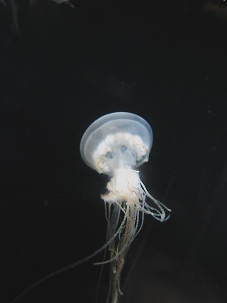 100811 エチゼンクラゲ。10cmくらいの小さな個体(於 新江ノ島水族館)