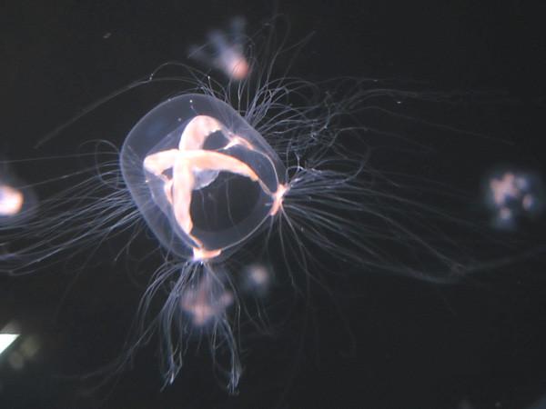 100811 ドフラインクラゲ。体長3cmくらいの小ささ。(於 新江ノ島水族館