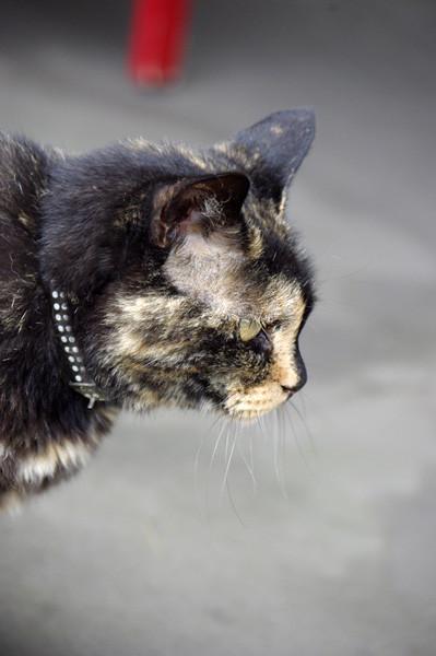 100812 江の島で会った猫たち3 (於 江の島)