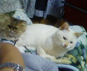 ヒザの上で眠るシロキチと妹子