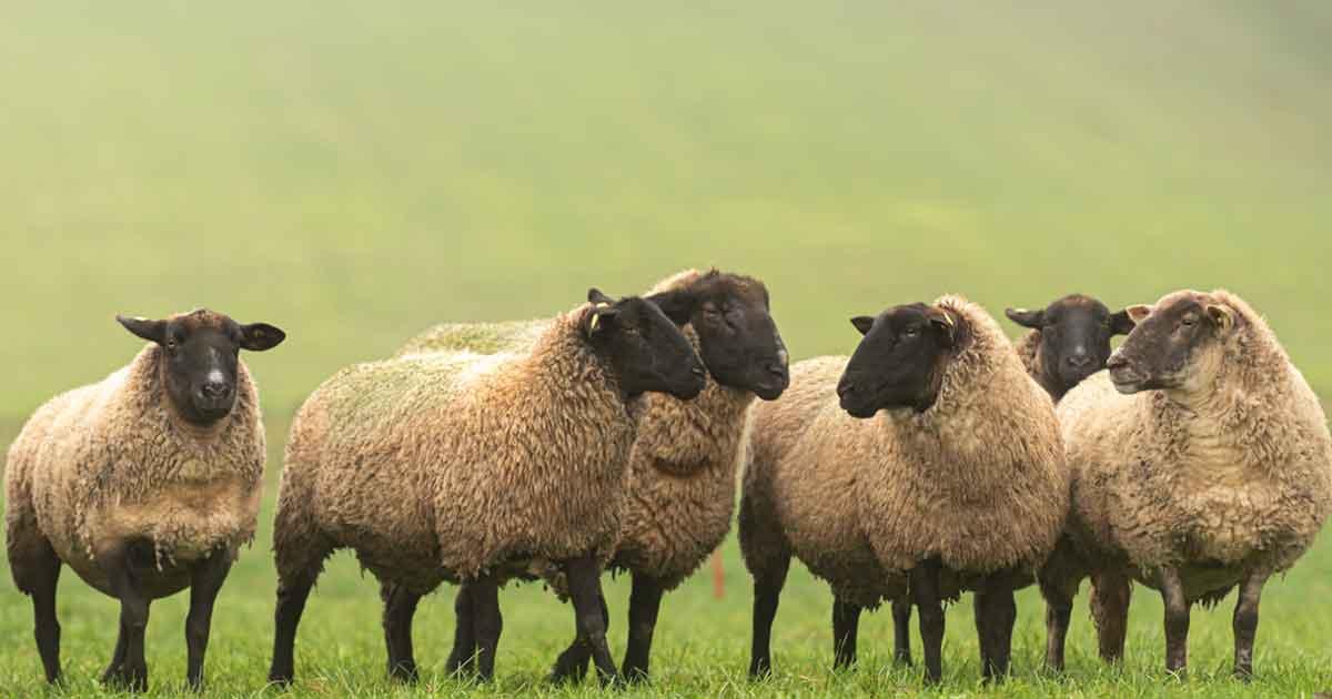 黒い羊効果5