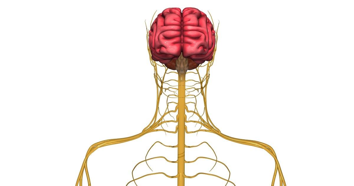 人間の神経システムを描いたイラスト