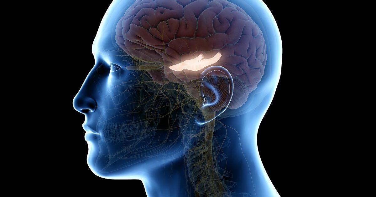 Hippocampus(脳の海馬を示すイラスト)