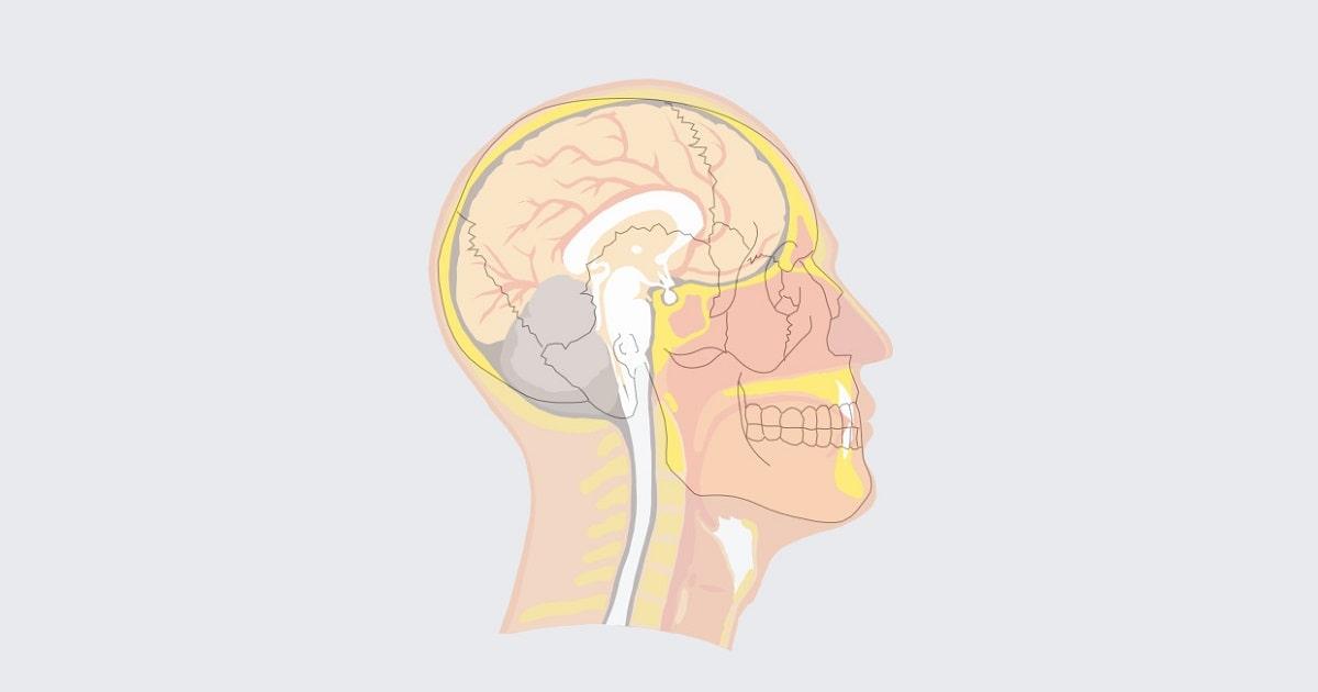 東京都健康長寿医療センターが、咀嚼によって「マイネルト神経」という脳の神経細胞が活性化され、「大脳皮質」の血流量が著しく増えることをつきとめたイメージ