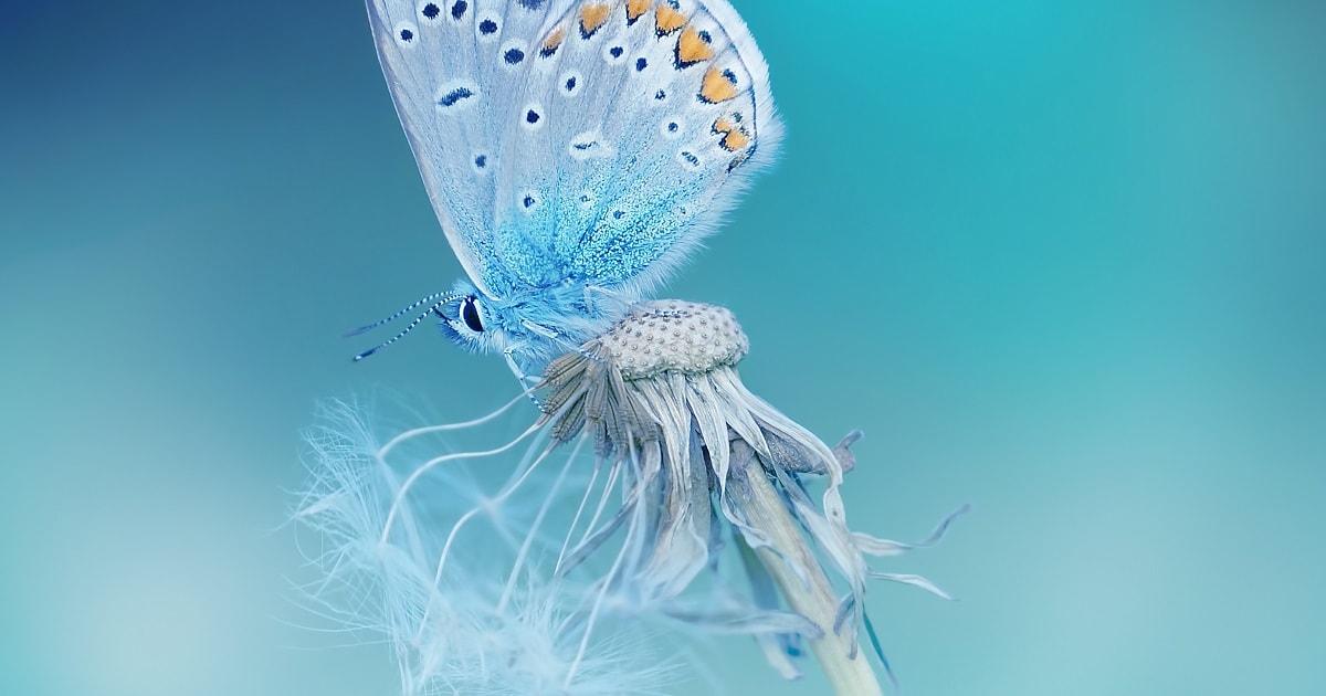 タンポポの上にとまる美しい蝶々。繊細で敏感なイメージ