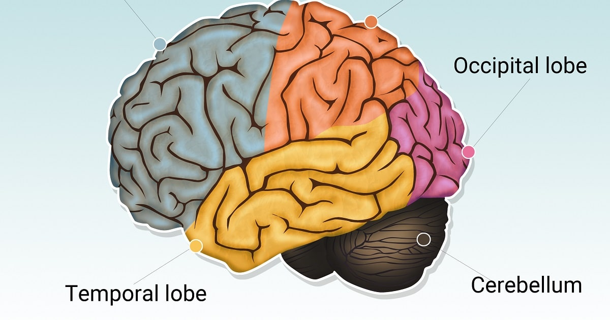 cerebellum:脳のイラスト