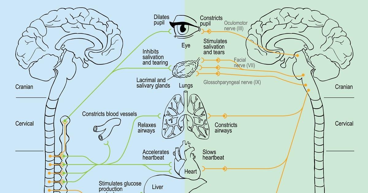 交感神経と副交感神経のイラスト
