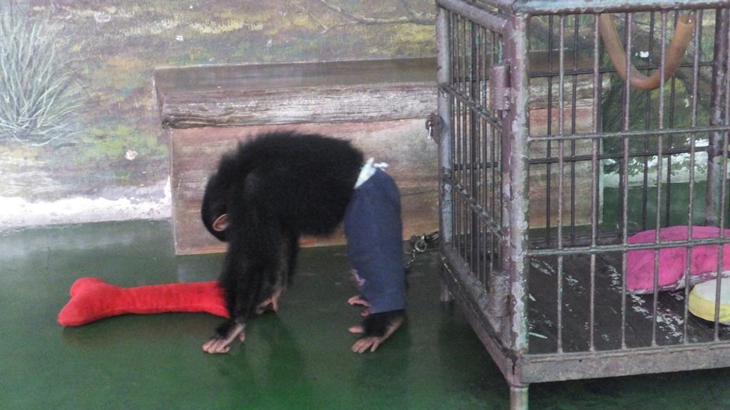 子供チンパンジー