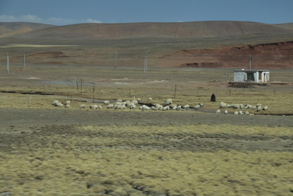 草原、牦牛(ヤク)と羊