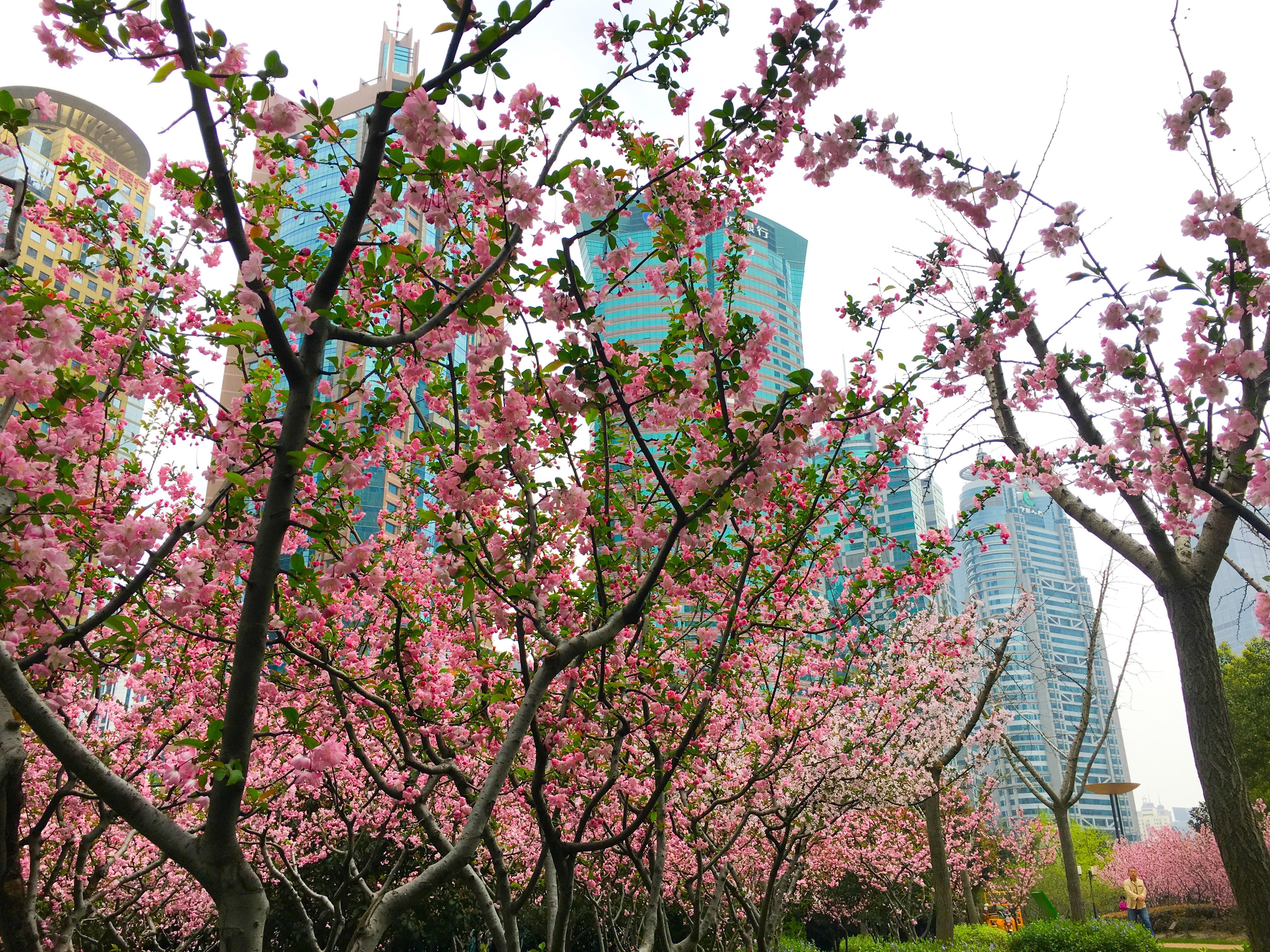 上海花海棠