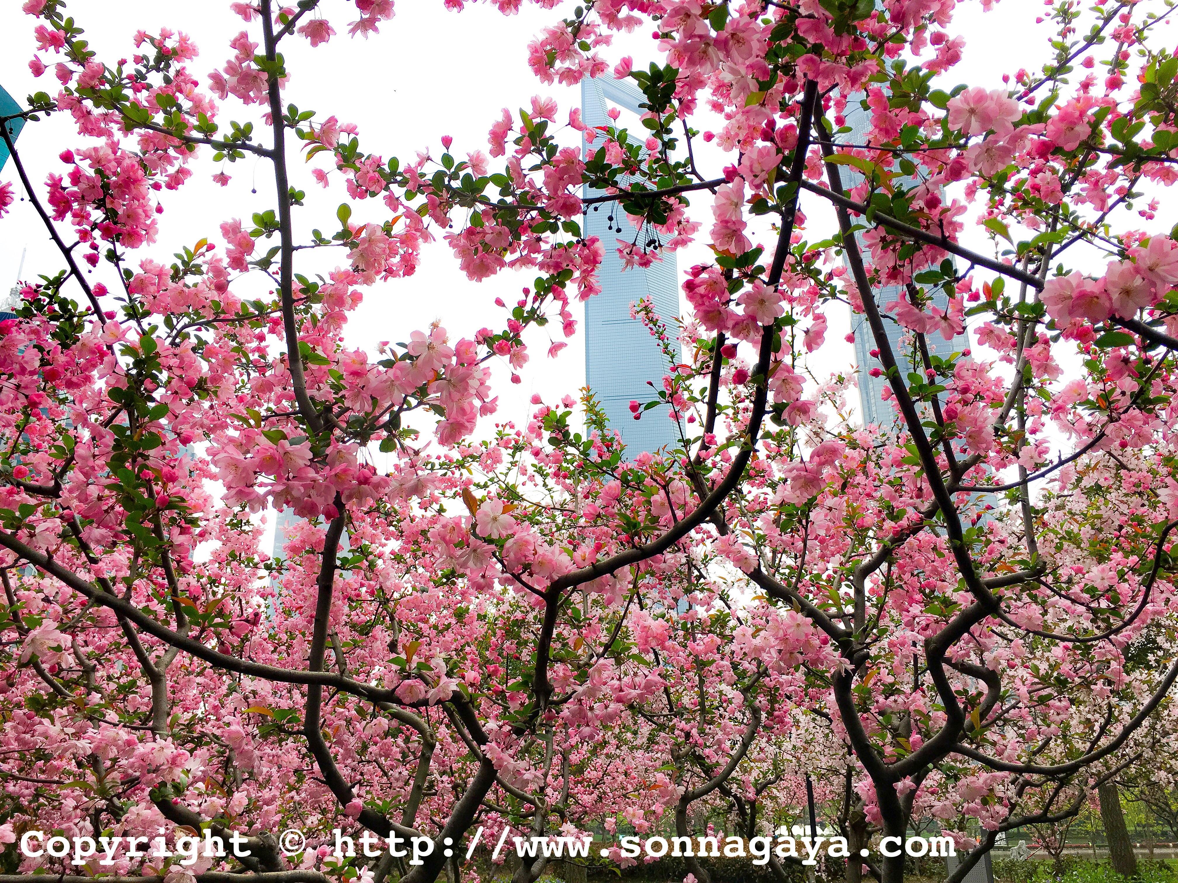 上海、海棠花