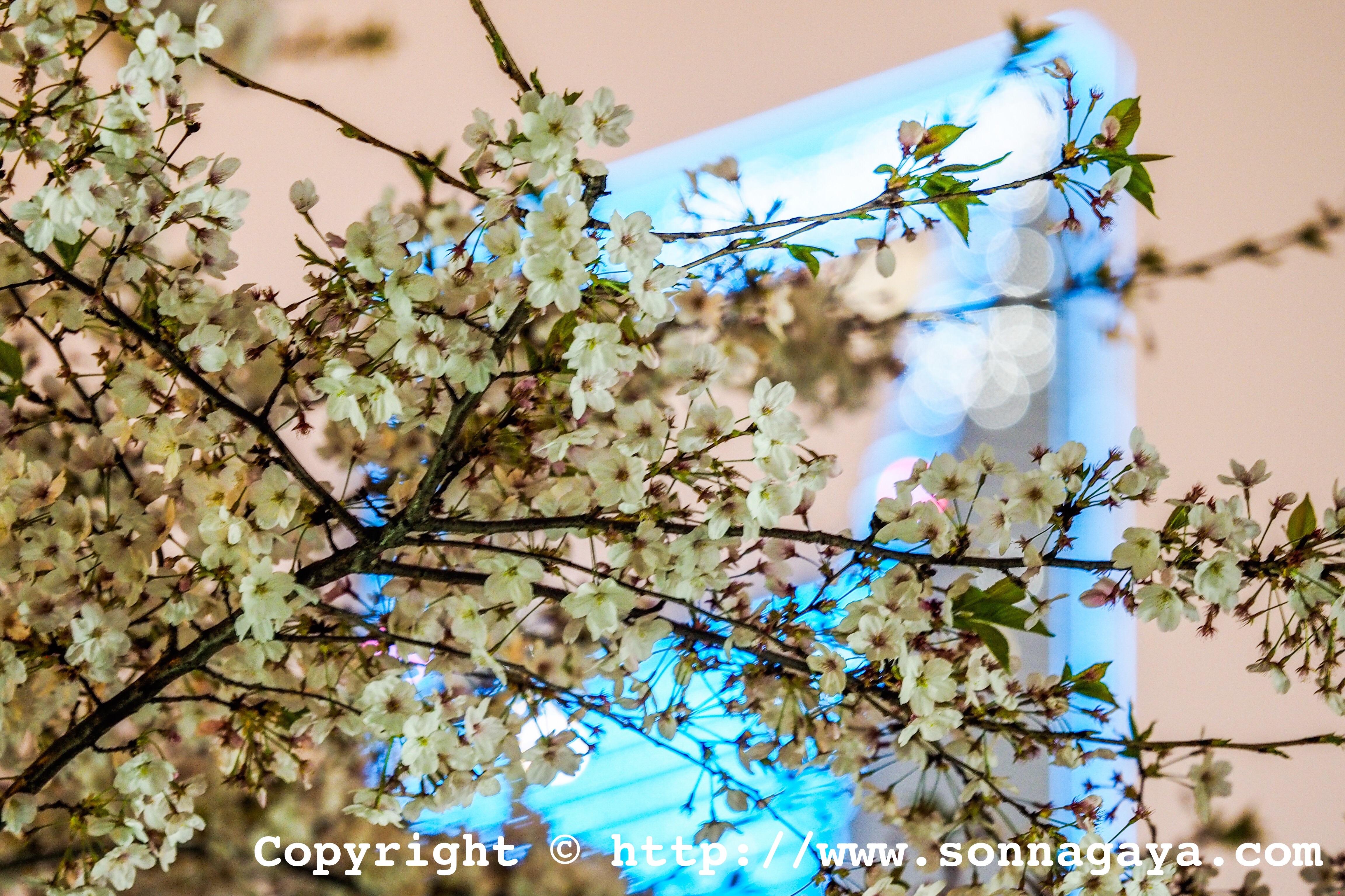 上海の夜桜