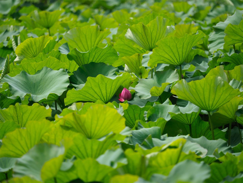 東平国家森林公園・蓮の花