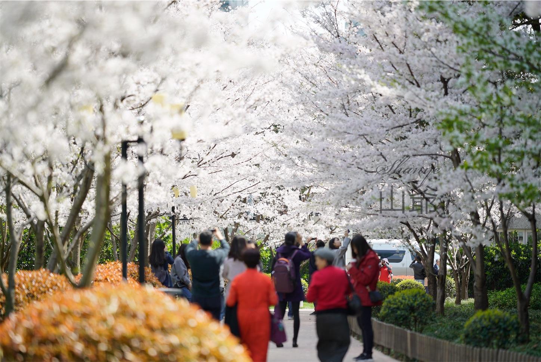 上海の桜・陸家嘴中心緑地