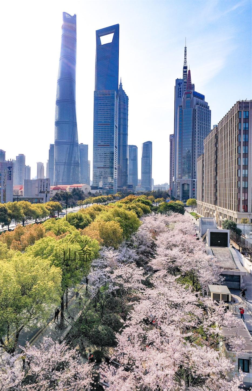 上海の桜・東昌路駅,ドローンで撮影