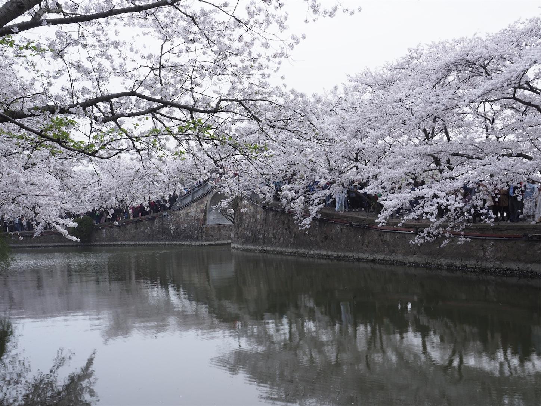 無錫鼋頭渚,長春橋の桜
