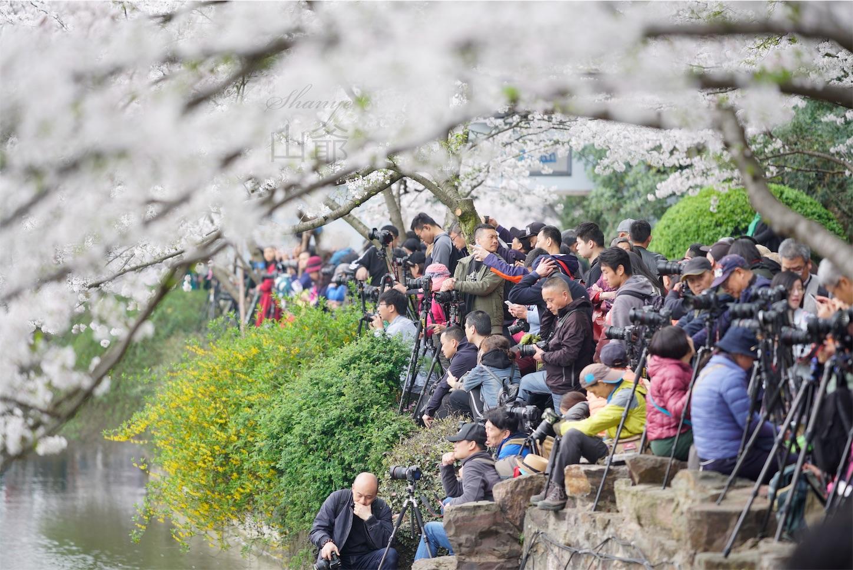 無錫鼋頭渚,長春橋の桜を狙うカメラマンたち