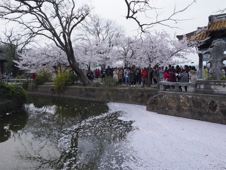 無錫鼋頭渚,桜散る