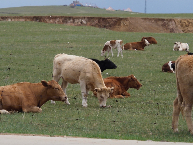 草原の風景,牛