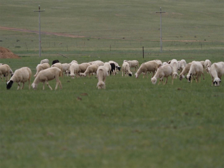草原の風景,羊