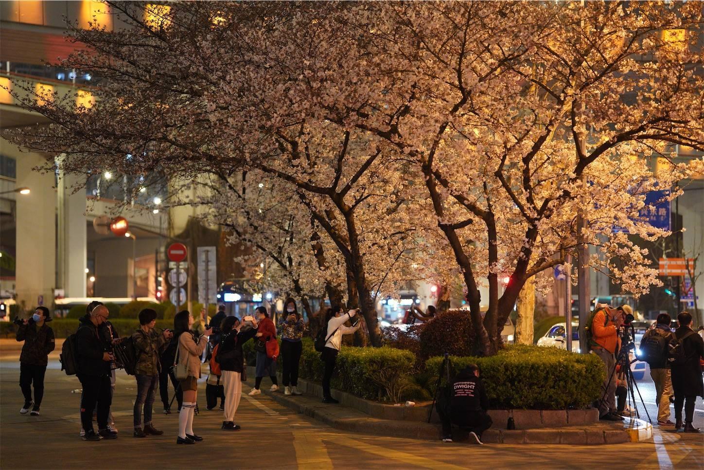 上海南浦大橋夜桜