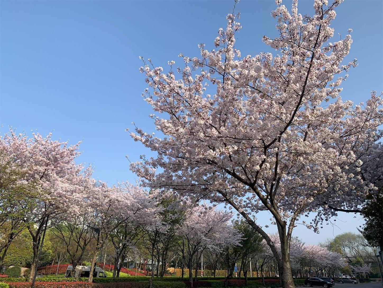 上海張江高科の桜満開