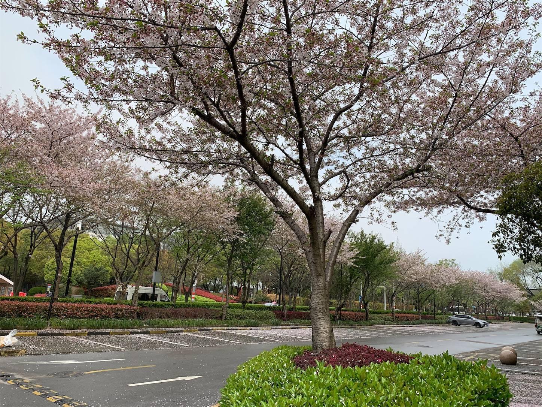 上海張江高科の桜