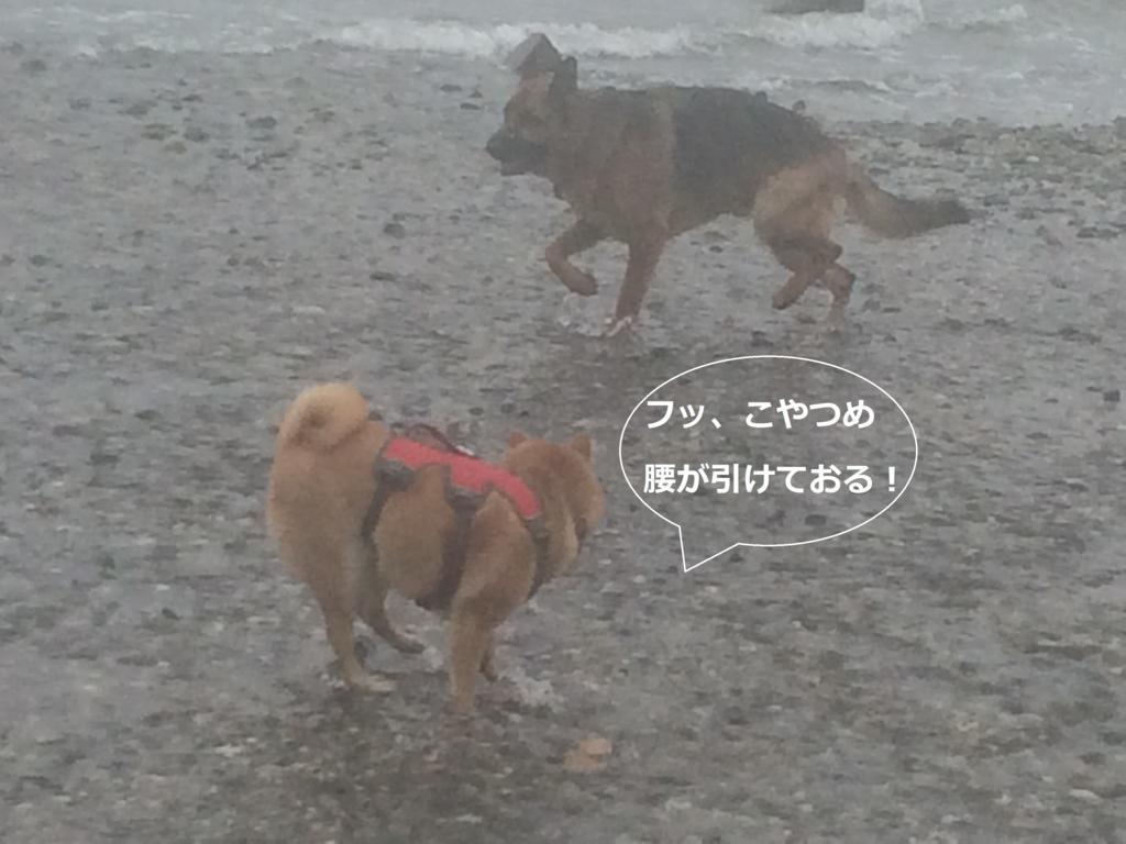 f:id:shiba-inu-in-abroad:20170111045927j:plain