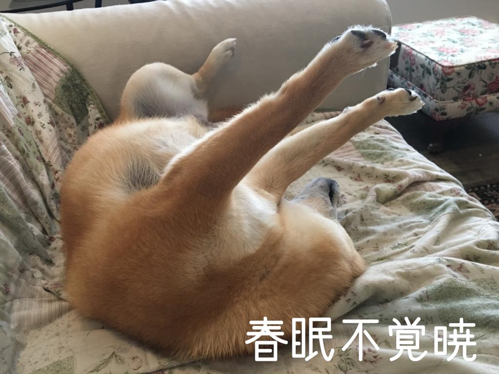 f:id:shiba-inu-in-abroad:20170414104327j:plain
