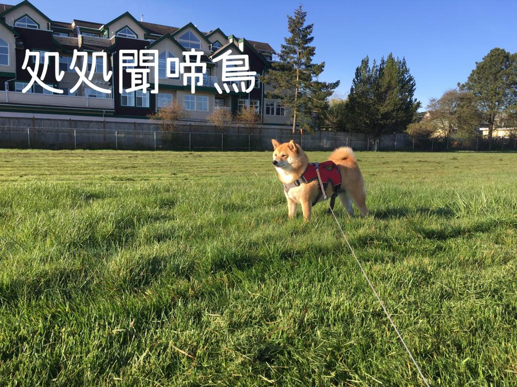 f:id:shiba-inu-in-abroad:20170414104547j:plain