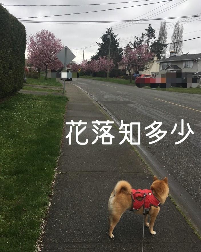 f:id:shiba-inu-in-abroad:20170414111345j:plain
