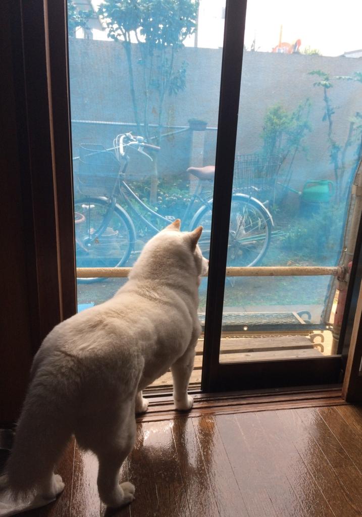 f:id:shiba-inu-in-abroad:20170512024406j:plain
