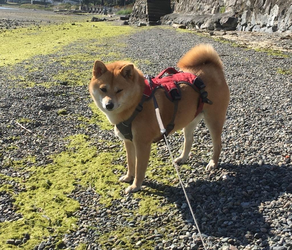 f:id:shiba-inu-in-abroad:20170825095541j:plain