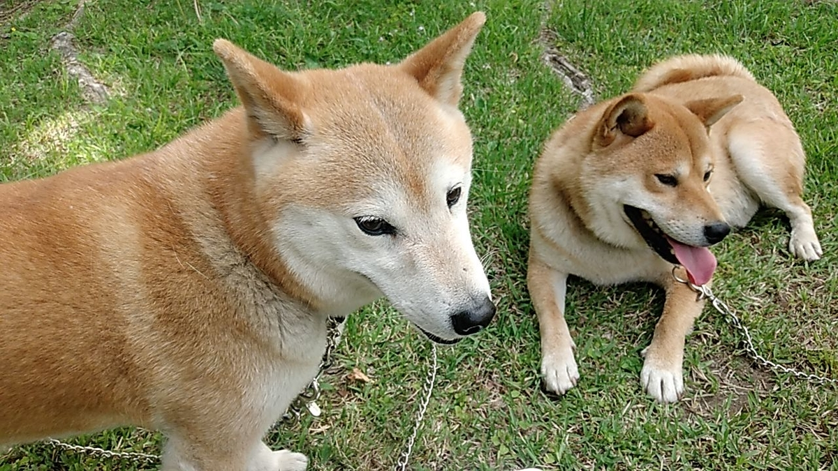 f:id:shiba-ken-gaooo:20210518054613j:plain