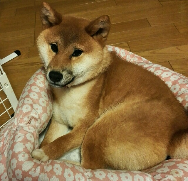 f:id:shibainumugi:20180208215853j:image