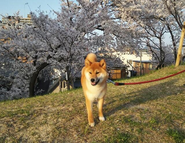 f:id:shibainumugi:20180331220931j:image