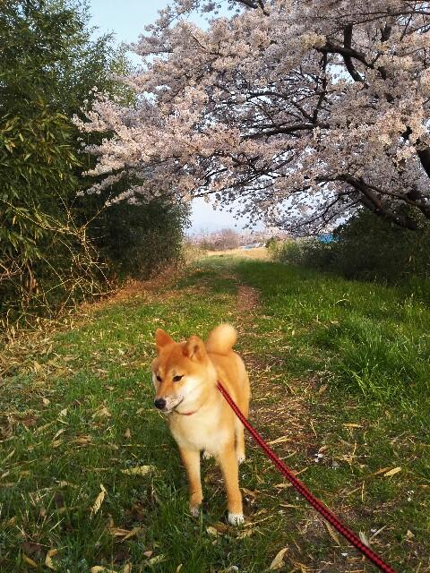 f:id:shibainumugi:20180402113234j:image