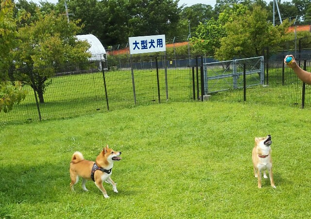 f:id:shibainumugi:20180617164610j:image