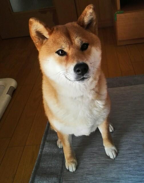 f:id:shibainumugi:20190526230713j:image
