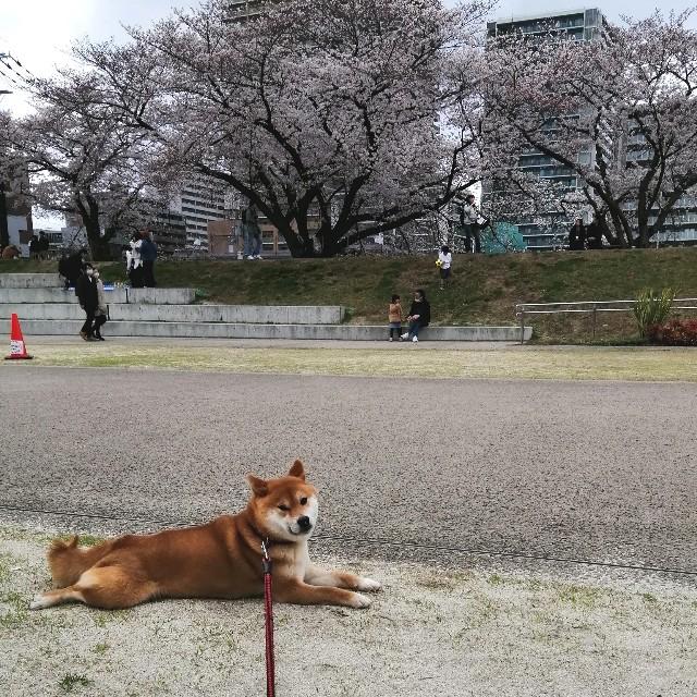 f:id:shibainumugi:20200330190347j:image