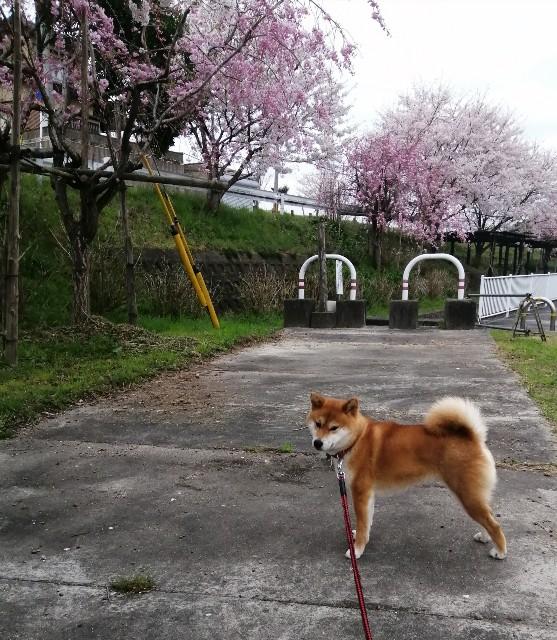 f:id:shibainumugi:20200404093428j:image