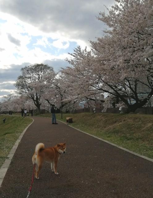 f:id:shibainumugi:20200406180142j:image