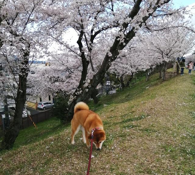 f:id:shibainumugi:20200406180205j:image