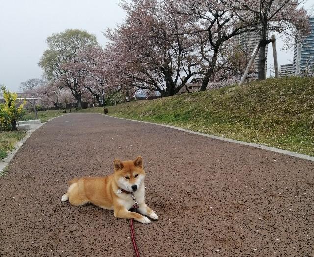 f:id:shibainumugi:20200413074538j:image